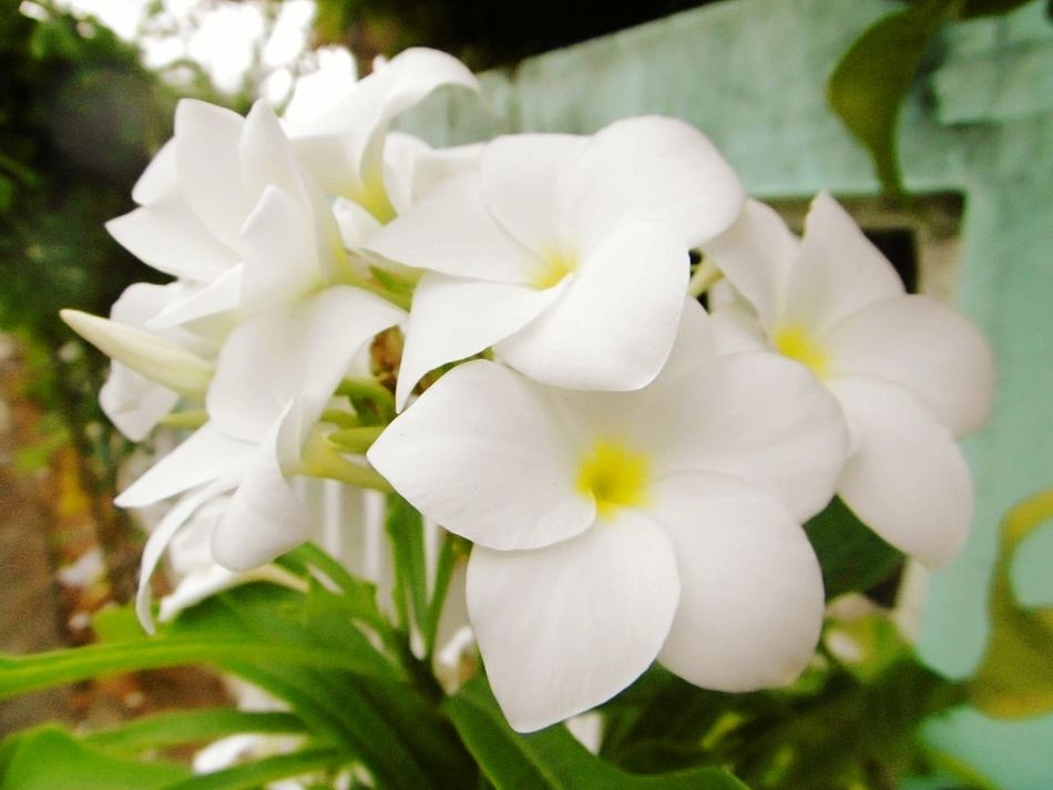 ลั่นทม จำปาลาว Thailand🇹🇭 Flower Petal Plant Flower Head Nature Close-up Fragility White Color Beauty In Nature Freshness Growth Outdoors No People Day Springtime Rave Flower ลีลาวดี