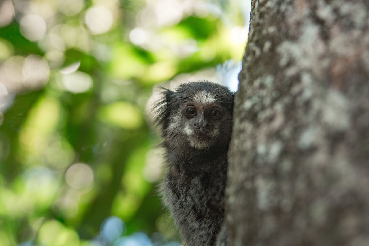 I think he found me. Animal Themes Animal Wildlife Animals In The Wild Bokeh Bokeh Photography Close Up Close-up Day Green Green Color Leaves Lemur Looking At Camera Mammal Monkey Nature No People One Animal Outdoors Portrait Raccoon The Great Outdoors - 2017 EyeEm Awards Tree Tree Tree Trunk Neighborhood Map