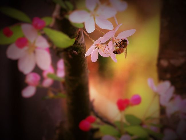 Bee on a Japanese cherry tree Beauty In Nature Bee Flower Flower Head Japanese Cherry Tree. No People Pink Color Selective Focus