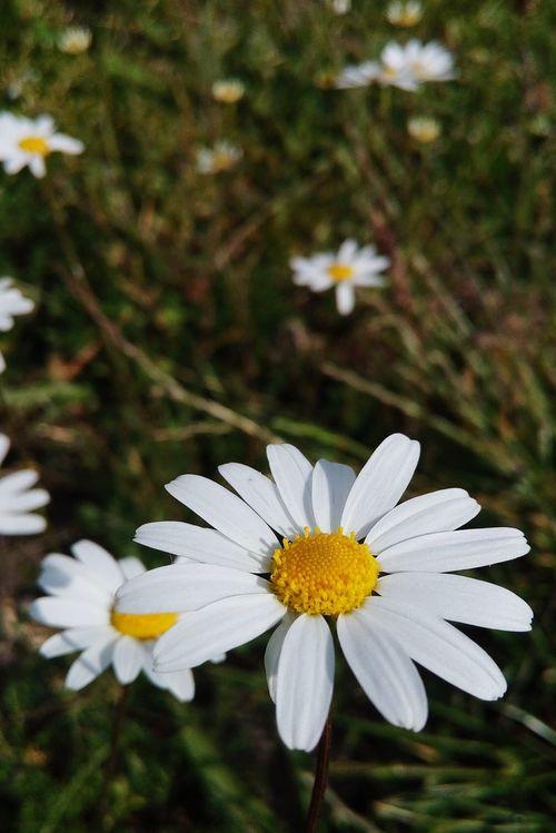 Teker teker kopardılar yapraklarını dünyalık bir AŞK uğruna... Nerede Türkiye Bolu  Gerede Ramazanbayramı Klasigi Sözde Aşk And Love Papatya Papatyaseverimçokçok Daisy Flower Daisy Daisy Lover