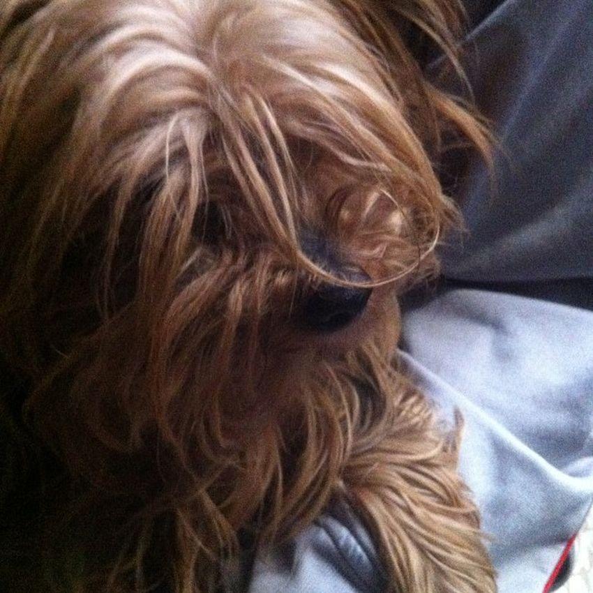 Luna Makesmesmile 6 Gennaio Photochallenge Januarychallenge Dog cute srslycute yorkshire