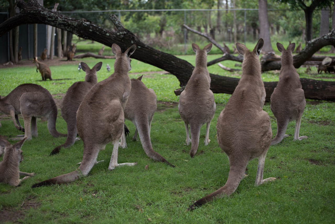 Beautiful stock photos of kangaroo, Animal Themes, Branch, Day, Grassland