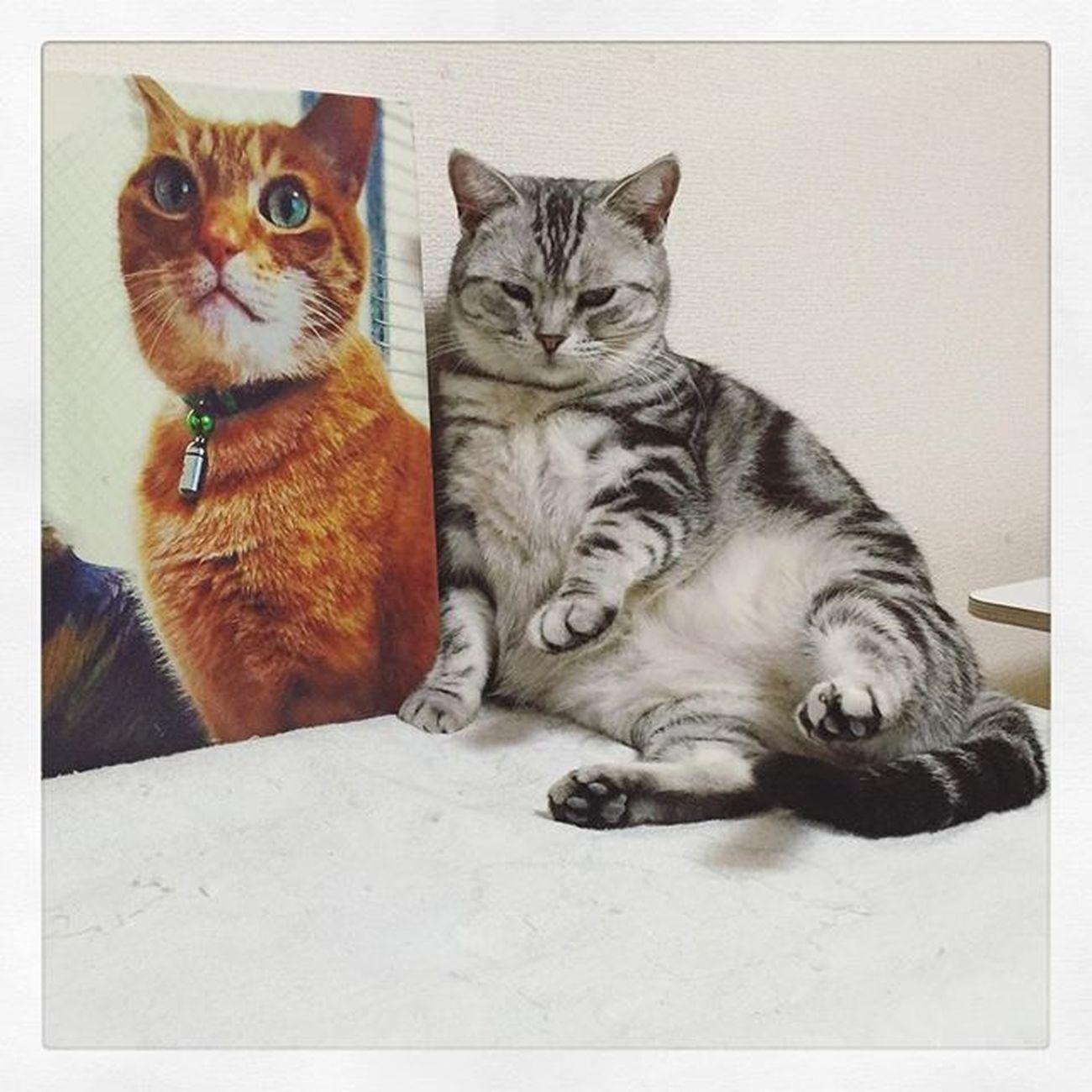 Cat Neko ねこ 猫 ねこ Cats アメリカンショートヘアー アメショ Americanshorthair ズズ ズズ子 Zuzu ズズっぺ シルバータビー 先代ニケスケとツーショットな感じのズっぺでおやすみなさい😚😽💕