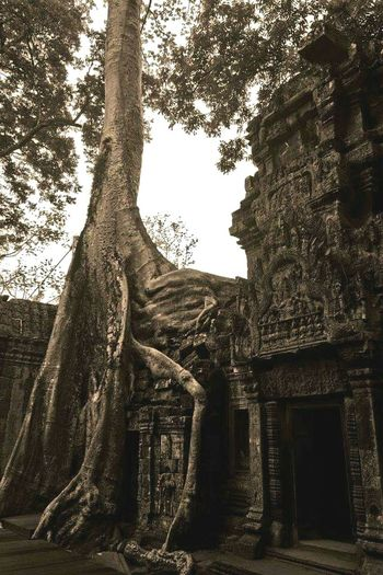 Southeastasia Johnnelson History Architecture Worldheritage Cambodia Temple Jungle Enjoying Life Tomb Raider  Angkor Wat Tree Reclaiming Nature Lifeasiseeit Southeast Asia John Nelson Ta Prohm