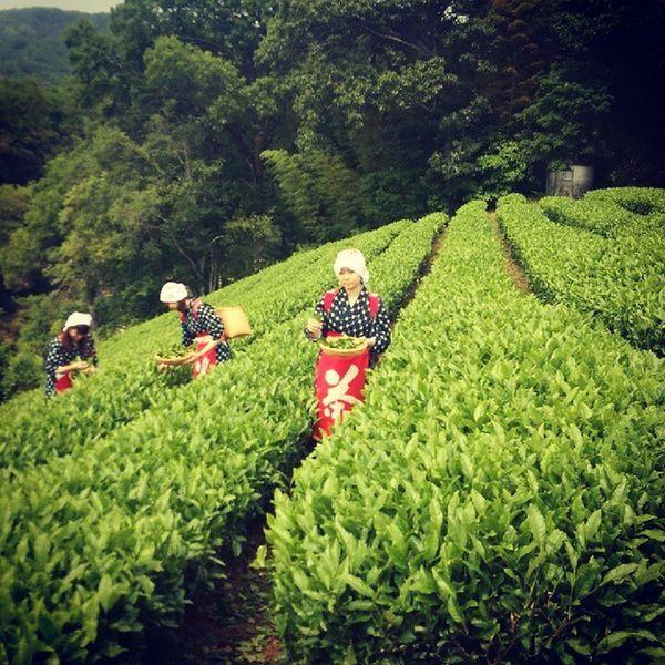 茶摘み娘。 けっこう本気で摘んだ。 静岡県 韮山 茶畑 茶摘み 娘けっこう楽しい摘んだ葉どうしよう