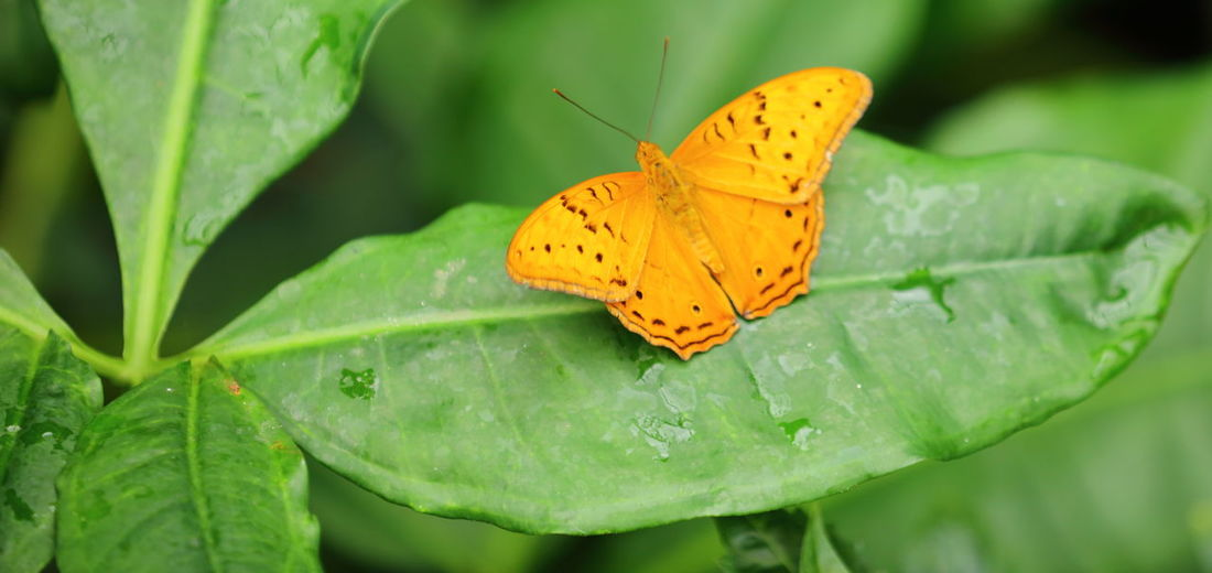 A bright, golden speckled beauty resting on a leaf. Animal Themes Beauty In Nature Bright Colour Butterfly Butterfly - Insect Close-up Day Eyeemnaturelover EyeEmNewHere Fragility Freshness Golden Colour Green Color Insect Leaf Nature One Animal Perched On A Leaf Plant Spread Wings