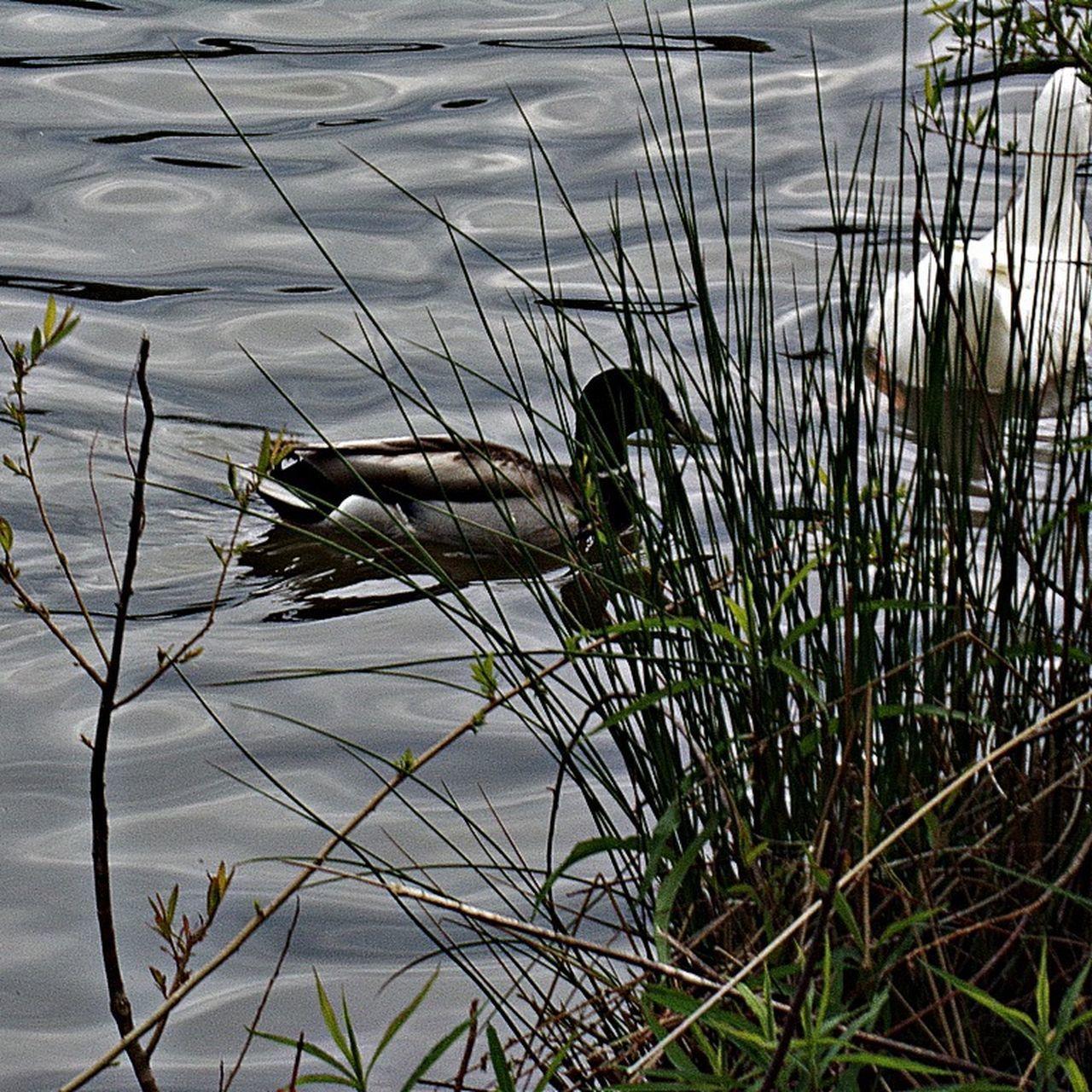 Photography Mallard Love Wildlife