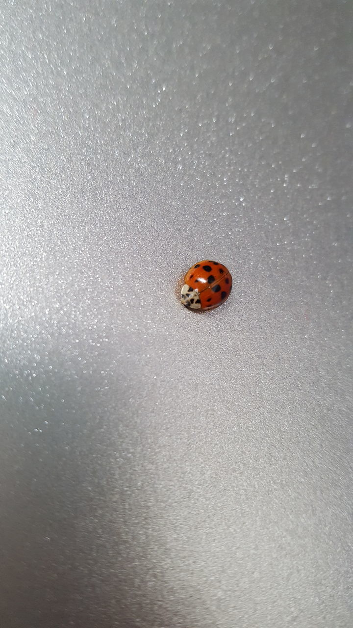 one animal, animal themes, animals in the wild, ladybug, animal wildlife, insect, no people, close-up, tiny, sand, day, nature, sea life, outdoors, beauty in nature
