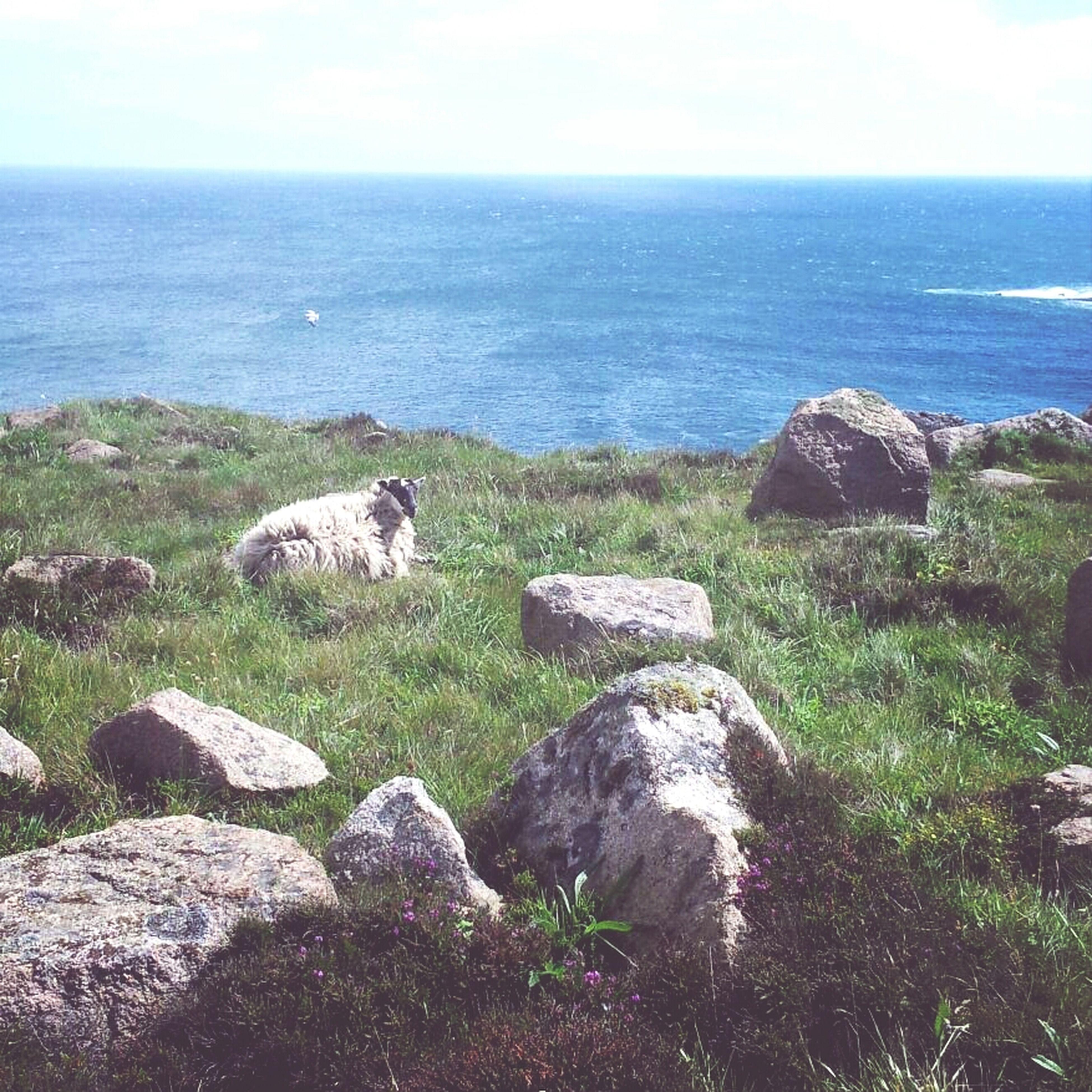sea and sheep