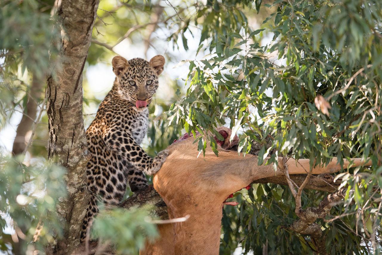 Africa Animal Themes Animal Wildlife Animals In The Wild Big Cat Blood Cub Eye Feline Kenya Kill Leopard Lick Lick Your Lips Mammal Mealtime No People Outdoors Safari Animals Tongue