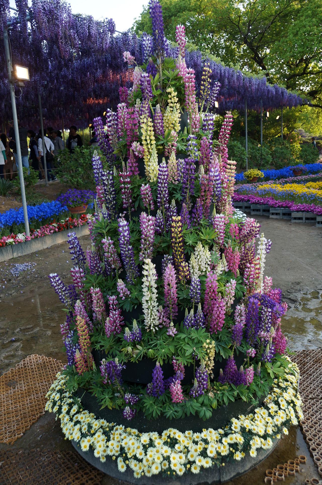 Beauty In Nature Flower Lupinus ルピナス