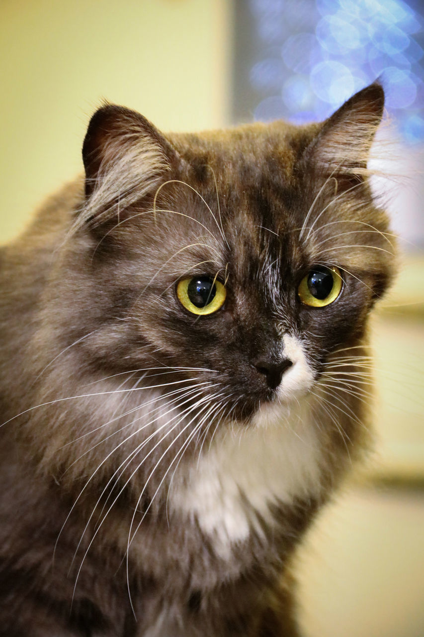 domestic cat, pets, animal themes, domestic animals, whisker, one animal, mammal, feline, indoors, looking at camera, no people, portrait, home interior, close-up, sitting, day