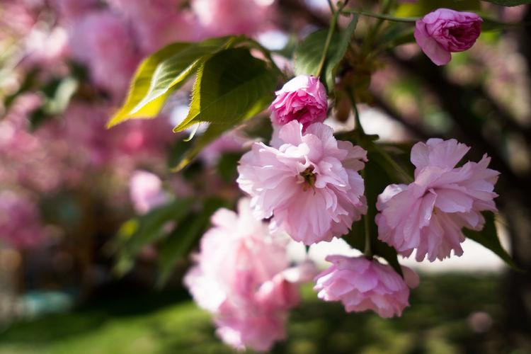 Macro Beauty Rochester, NY Lilacs Lilacfestival Flowercity