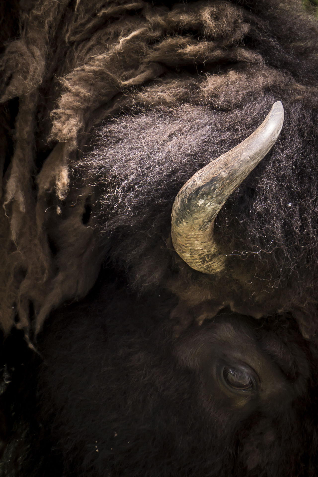Animal Animal Body Part Animal Head  Animal Photography Animal Themes Animals Beauty In Nature Bison Buffalo Close-up Horn Nature Outdoors Zoo Zoo Animals  Zoology