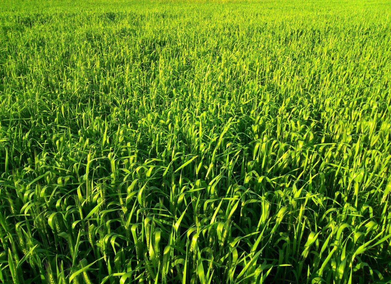 Green Color Growth Backgrounds Grass Nature Full Frame Field Beauty In Nature No People Close-up Day Freshness Outdoors EyeEm Best Shots - No Edit Nature Photography Grass Field Rural Scene EyeEm New Here Nature Beauty In Nature Green Color Wheat Field EyeEmNewHere