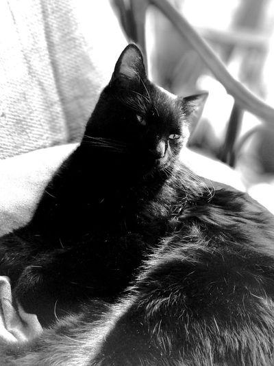Black Cat Lying Down Relaxation Portrait Cat Cute Love Cat Fur Whisker Black And White Sleepy Indoors  Domestic Cat Animal Themes Domestic Animals Pets No People Feline Animal Sitting