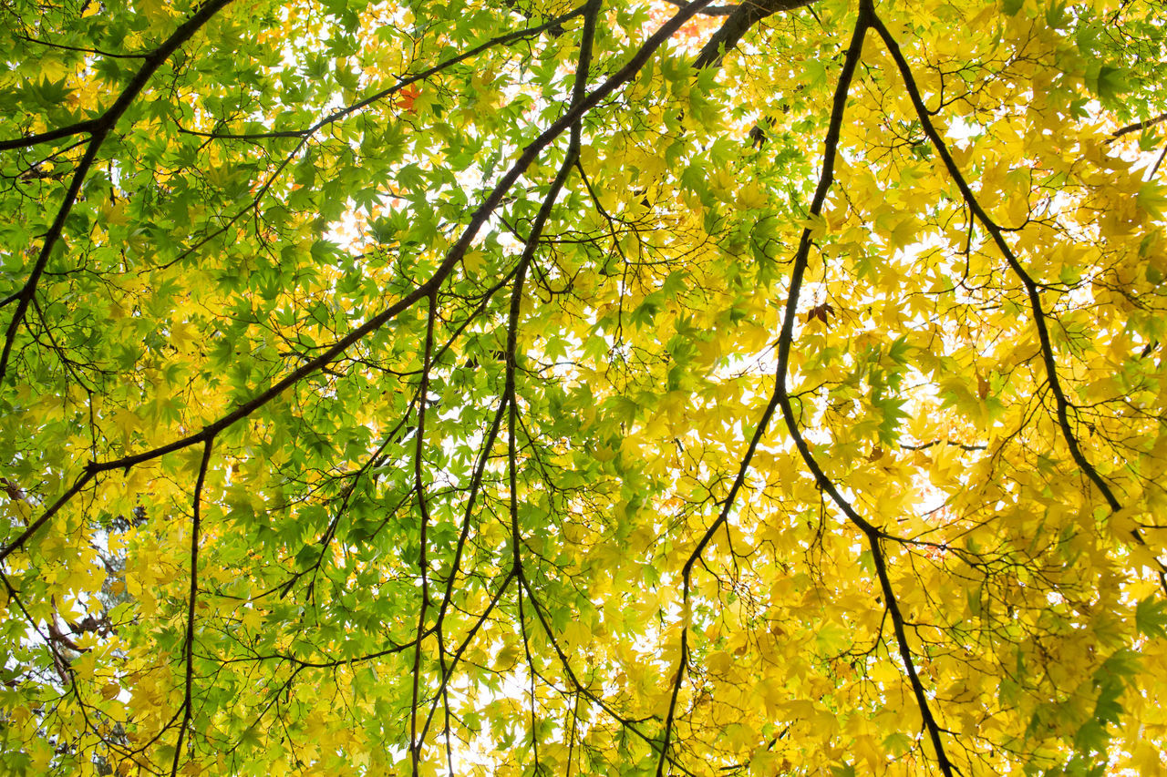 Autumn Autumn Collection Autumn Colors Green Leaf Green Yellow Gyeongju Korea Leaf Maple Leaf Outdoor Yellow Maple