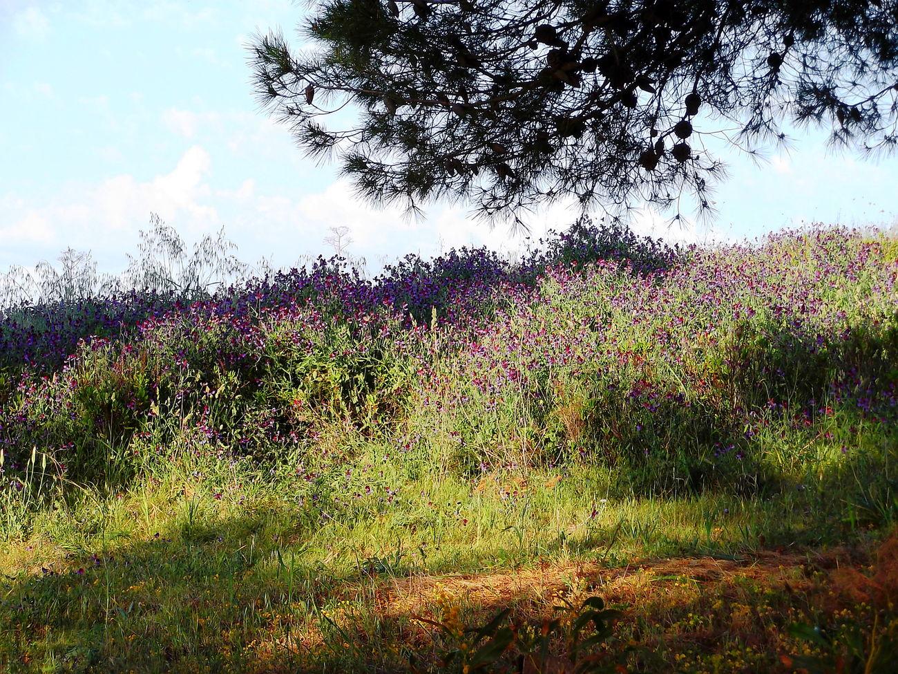 Agrigento Alberi Beauty In Nature Campi Cielo Azzurro Erba Fiori Flower Freshness Green Color Growth Natura Nature No People Nuvole Outdoors Sicilia Silohuette Tree Vegetazione