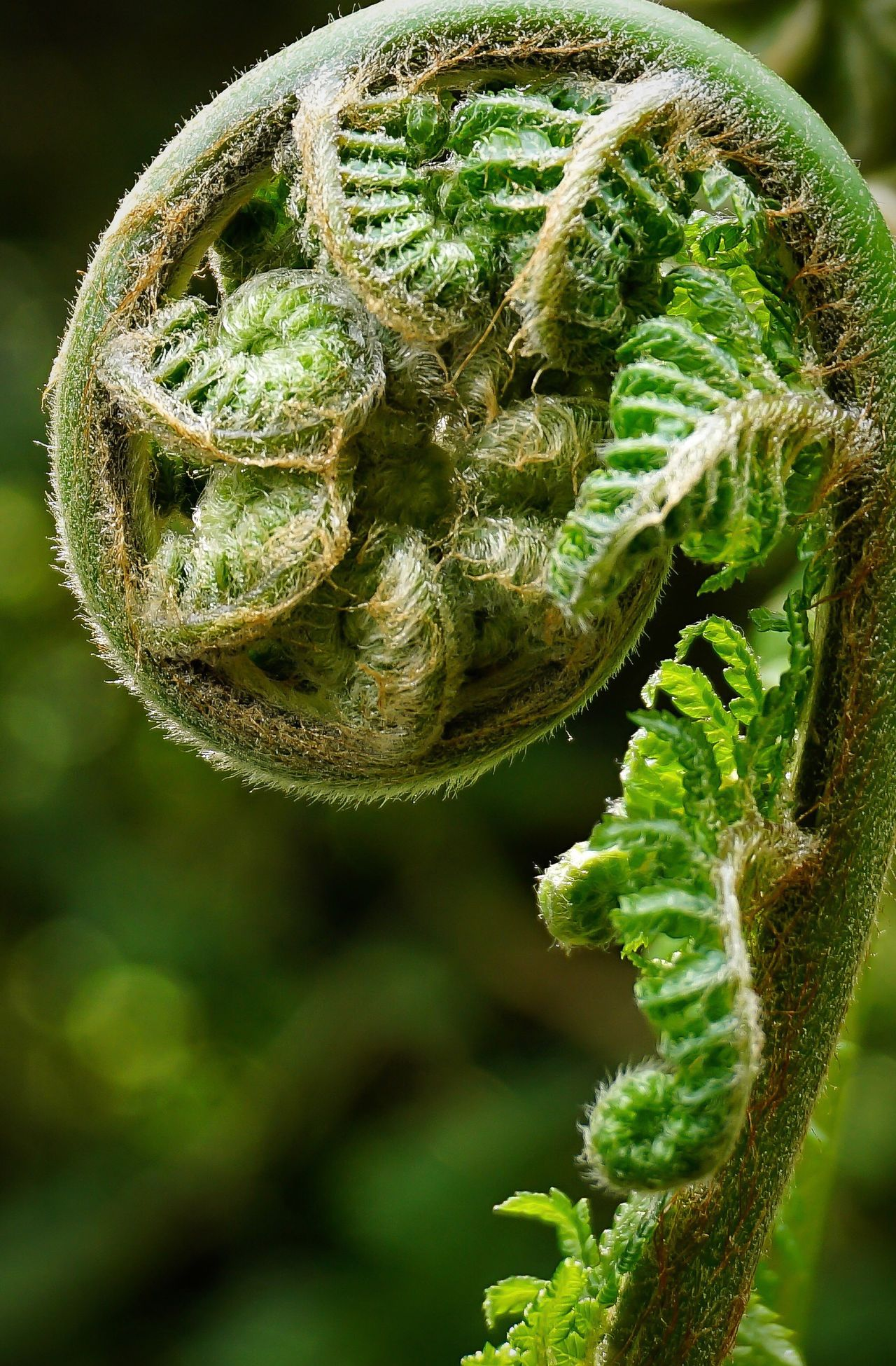 Fern Green Color Nature Growth Green Close-up Plant Outdoors Spiral Photosynthesis Beauty In Nature Curled Up Curled Growing Freshness Greenery Curl Bud Plant Ferns Growth Hairy  Macro