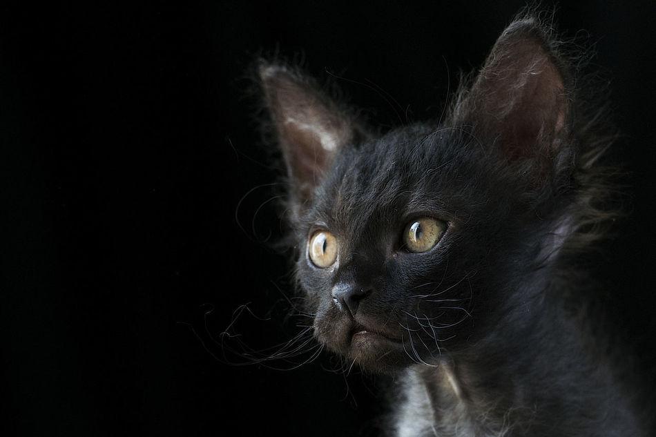 Beautiful stock photos of baby katzen, Curiosity, alertness, animal, animal Eye
