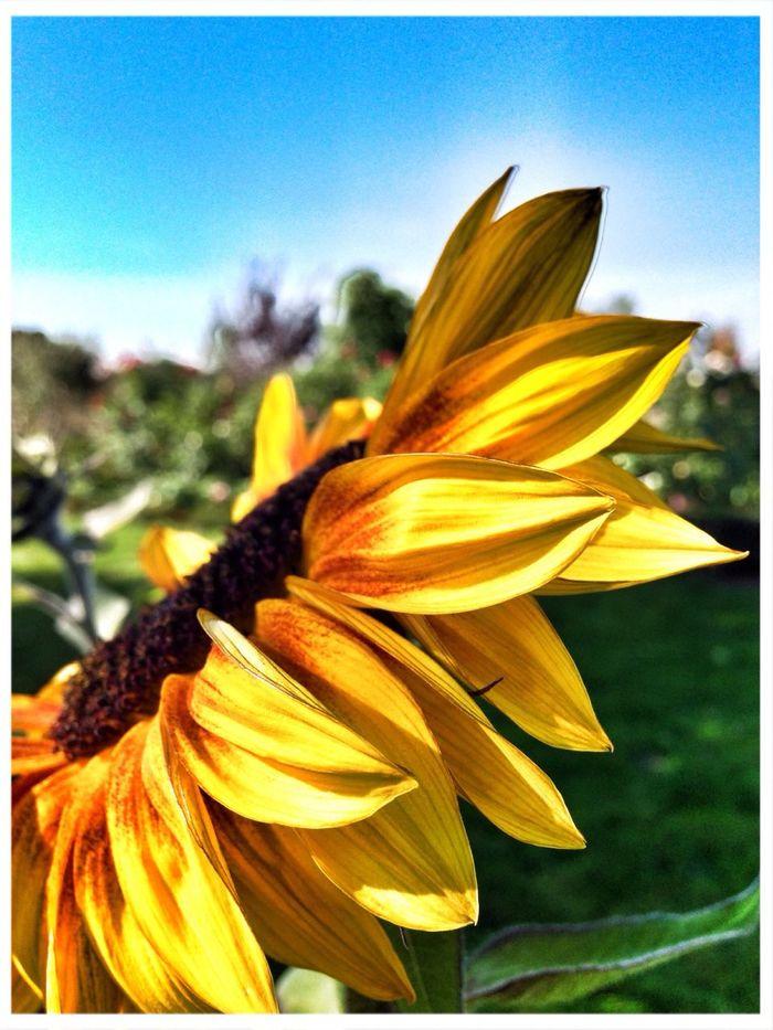 Sunflower Flowers Flowerporn
