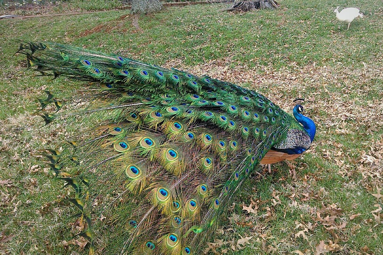 This guy just wanted to show off his feathers in the wind. Gotta love Peacocks Tailfeathers Virginiaphotography Albemarle County, Virginia Lifeofwonder