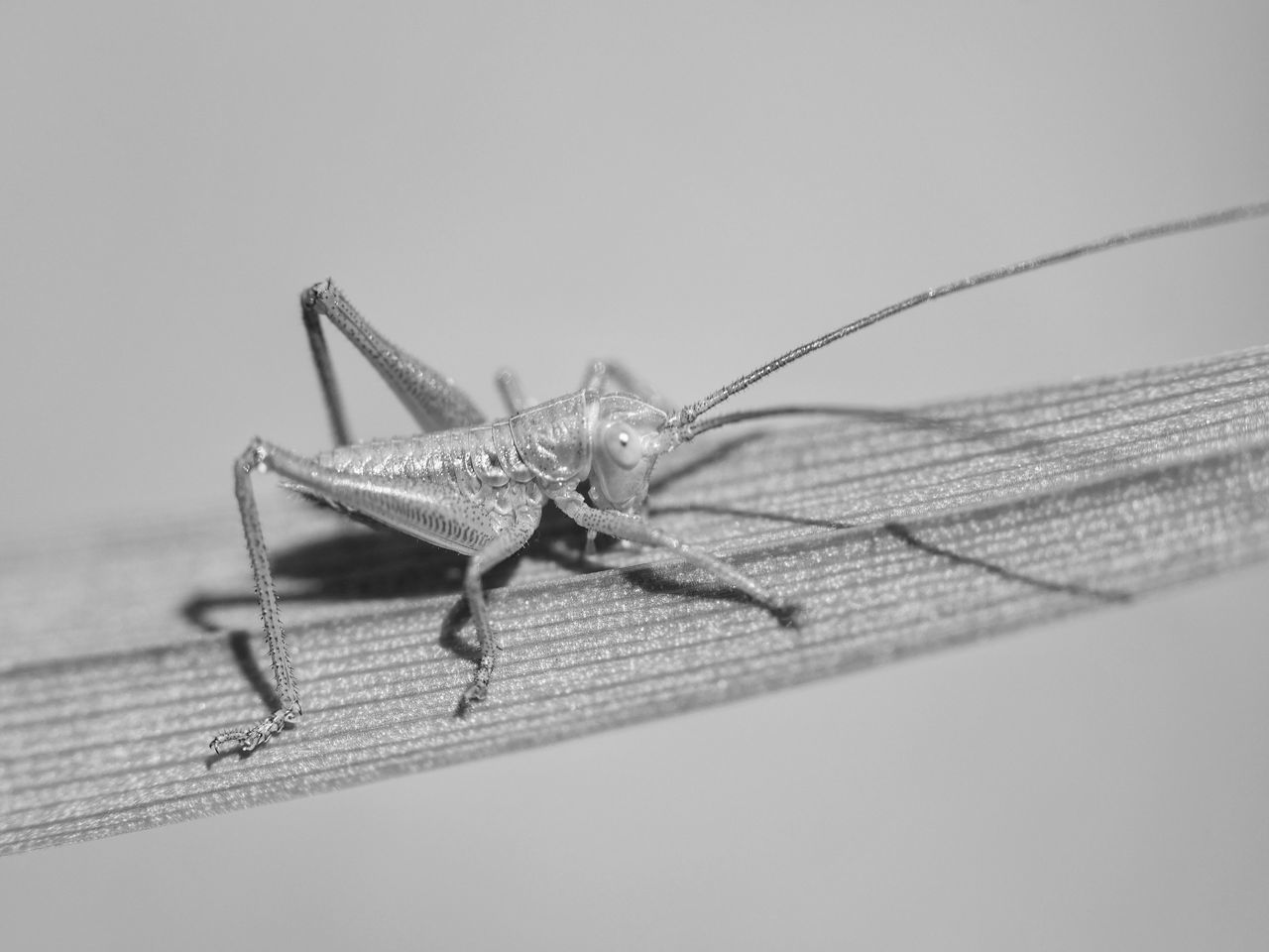 Grasshopper Animals Grasshoppers Black & White Nature Macro B&w Nature On Your Doorstep Close Up Closeup Close-up Macro_collection Nature_collection Outdoors Bnw Bnw_collection Black&white Black And White Animal_collection Animal Themes Taking Photos Outdoors Photograpghy  Macro Photography Offspring Extreme Close Up