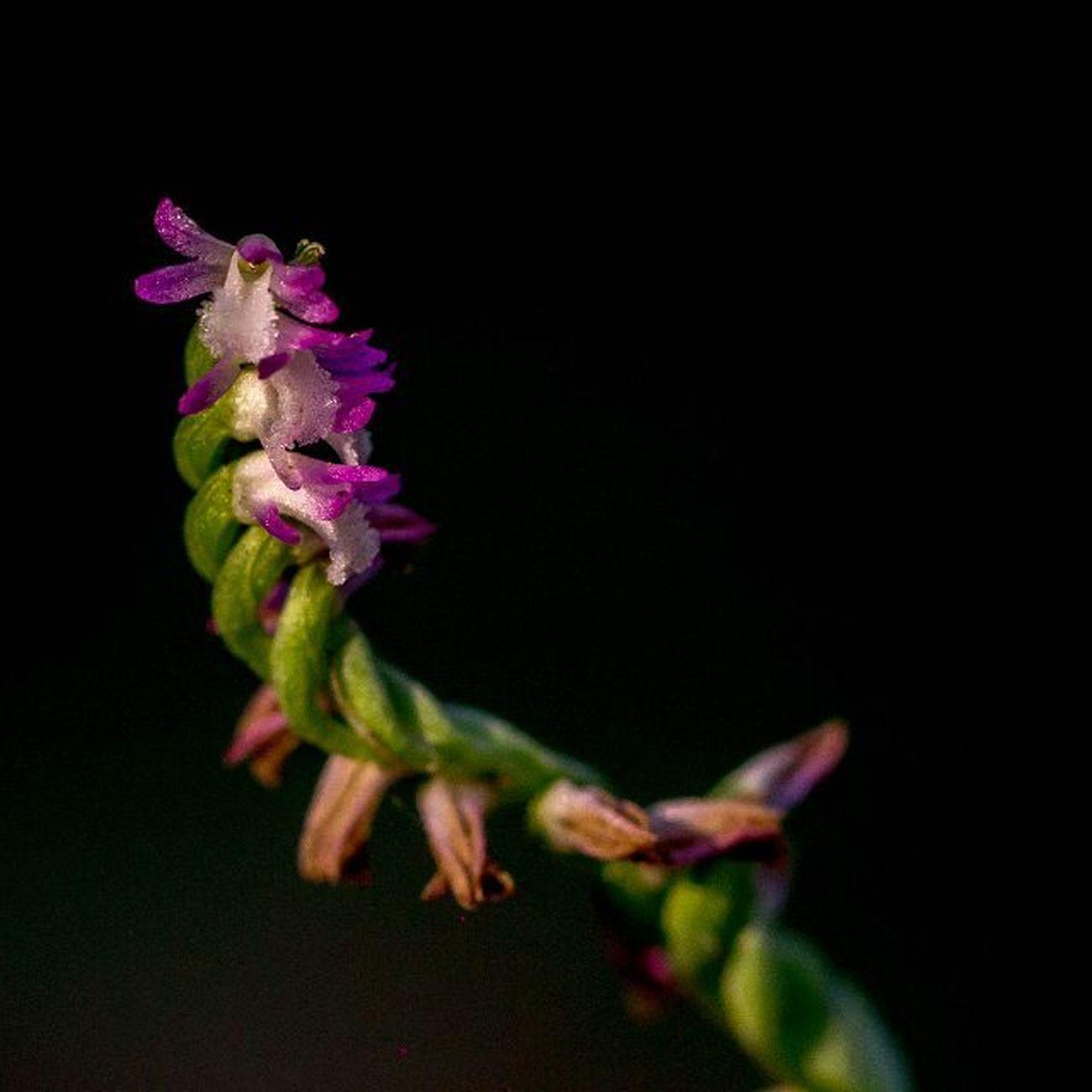 🎼蘭花 我從山中來 帶著蘭花草 種在小園中 希望花開早 一日看三回 看得花時過 蘭草卻依然 苞也無一個… 呦呵呵呵~🎶🎵😙 很熟悉的一首歌曲 蘭花草稱綬草又叫清明草 原來這就是它😁 雨後上山漫步放空時巧遇😄 EXIF 相機:Canon 型號:EOS 60D 鏡頭:Canon EF100mm f2.8L Macro IS USM 焦距:100mm 光圈:f/4 快門:1/125s ISO:640 閃光:無 蘭花草 清明草 綬草 和美步道 蘭花 草 生態 微距 微距鏡