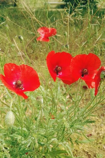 Red Growth Plant Nature Poppy Love Beauty In Nature Flower No People Uncultivated Outdoors Fragility Freshness Flower Head Fly Agaric Mushroom Amapolas Amapolas Rojas Leaf Close-up Day Grass