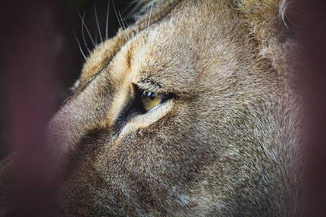 Russia Perm Inperm Пермь Animal Animals лев  лева Lion Lionking Look Eyes Eye Permregion Permloves