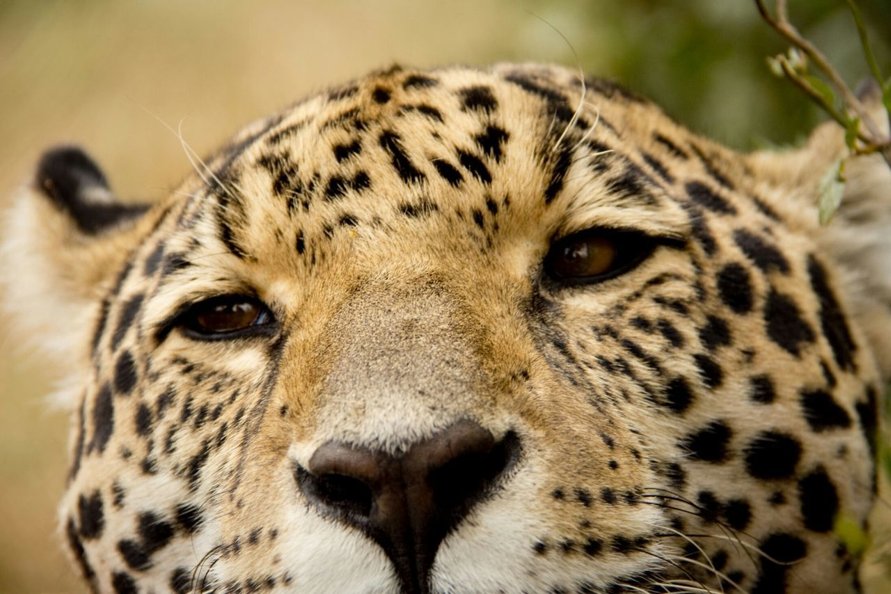 Beautiful stock photos of jaguar, Alertness, Animal Head, Animal Markings, Animal Themes