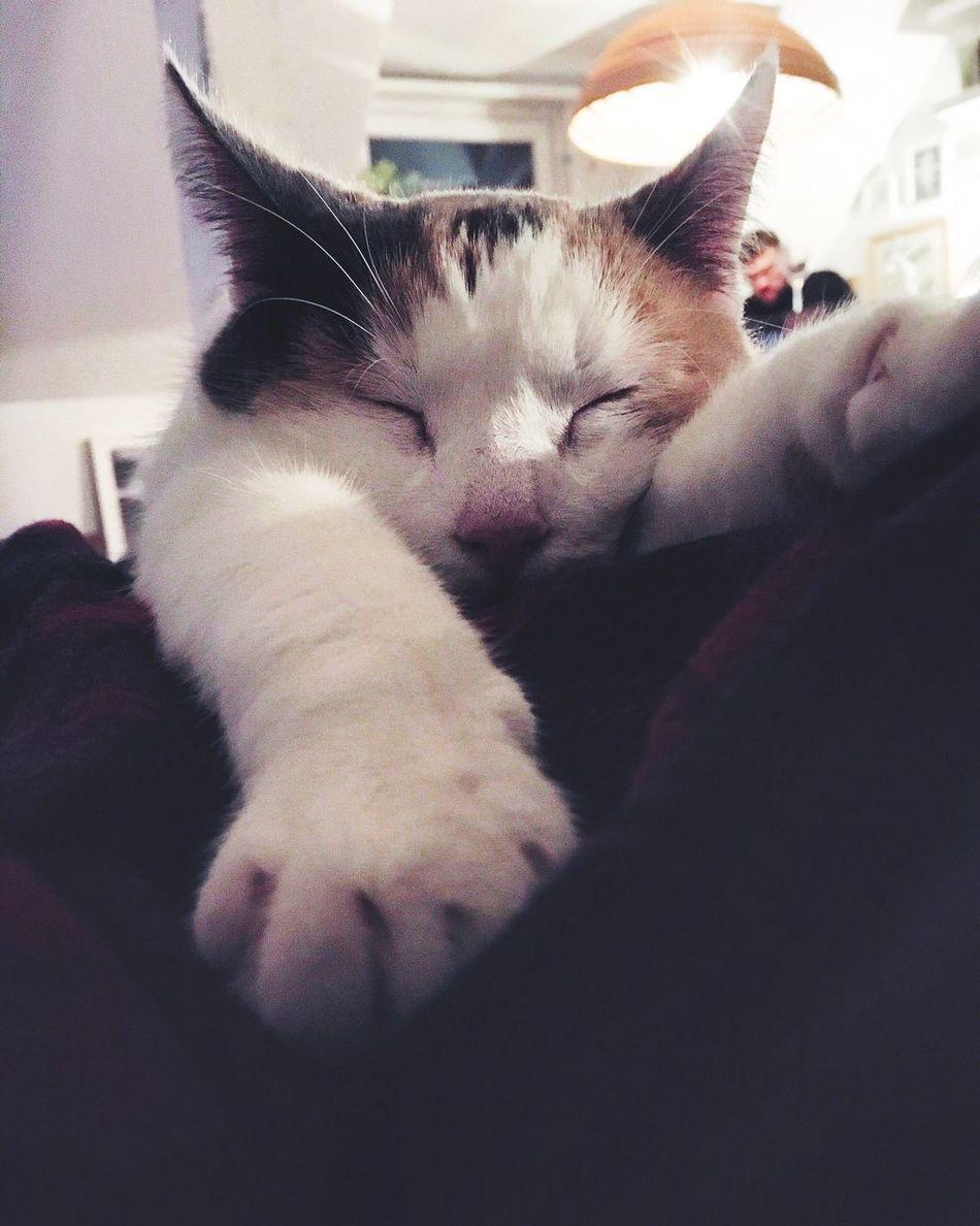 Zleepy cat iz azleep. Domestic Animals Pets Domestic Cat Mammal One Animal Animal Themes Indoors  Home Interior Sleeping Feline Cat Close-up No People Day Kitten Catsofinstagram
