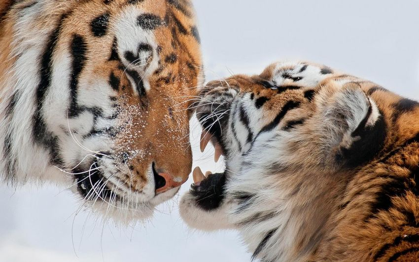 Animal Tigers Love Relaxing