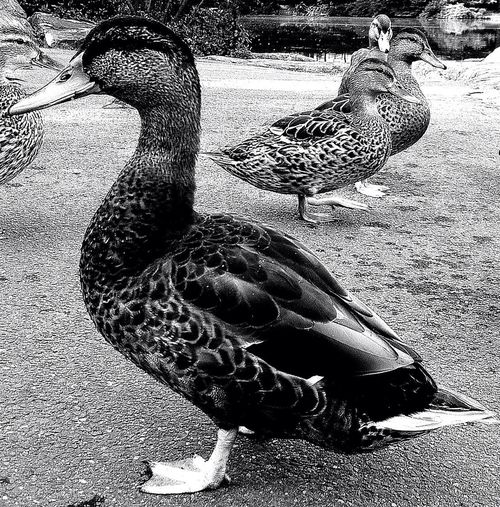 Blackandwhite Just Ducky