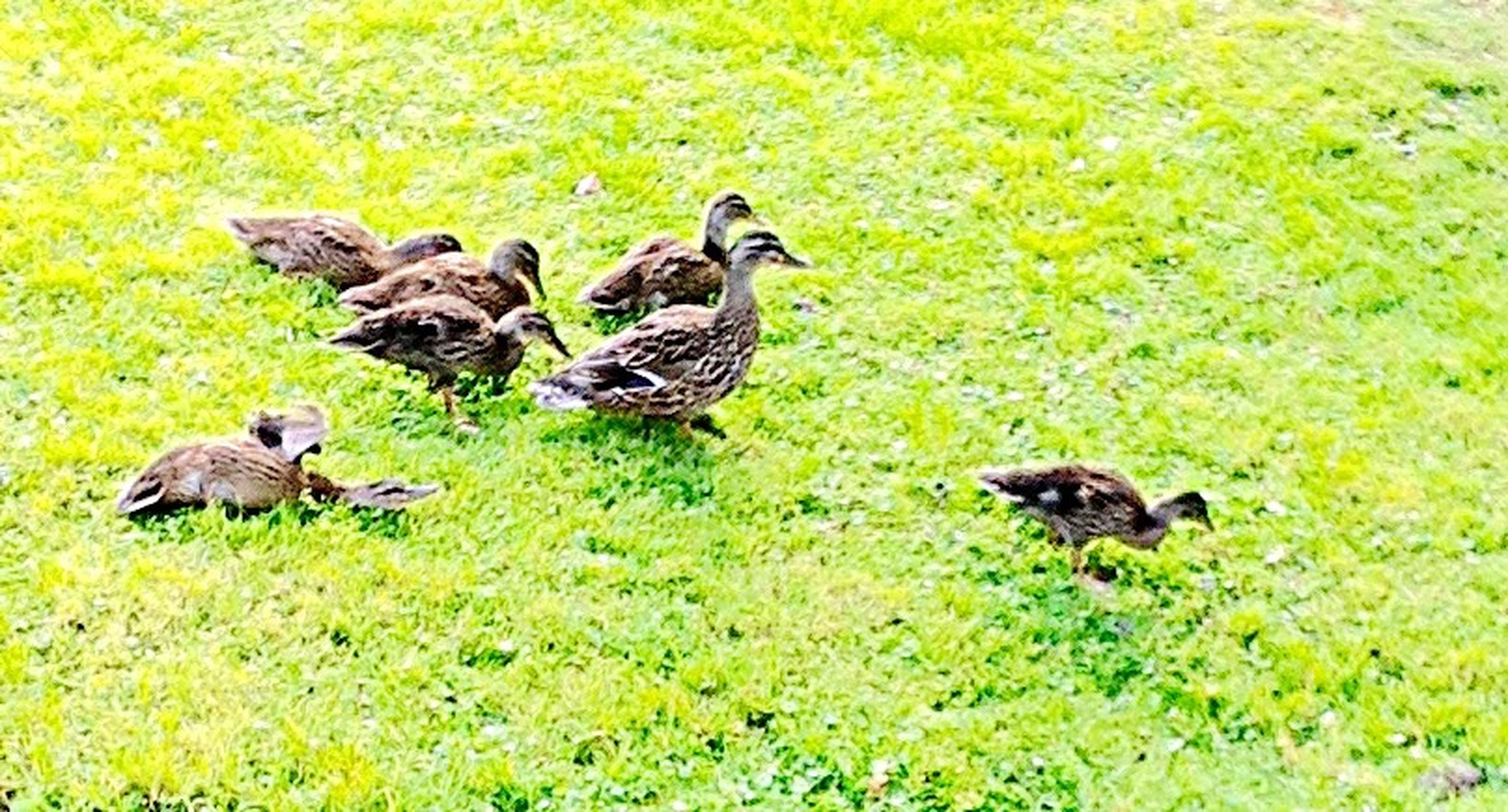 animal themes, animals in the wild, bird, wildlife, grass, duck, green color, field, nature, grassy, togetherness, mallard duck, high angle view, two animals, no people, outdoors, full length, day, beauty in nature