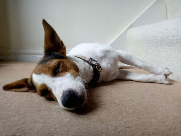 Dog Pets Domestic Animals One Animal Resting Sleeping Relaxation No People Indoors  Day Animal Looking At Camera