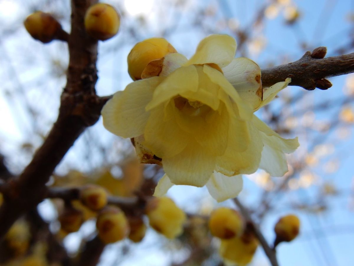 Plum Japanese Plum Blossom Happynewyear2016 蝋梅 Nature Nature_collection Japanese Style