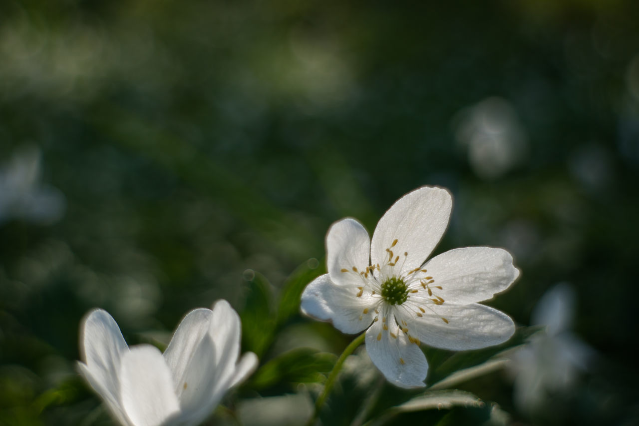 Beauty In Nature Blooming Close-up Day Flower Flower Head Fragility Freshness Growth Live For The Story Nature No People Outdoors Petal Plant The Great Outdoors - 2017 EyeEm Awards White Color Wood Anemone