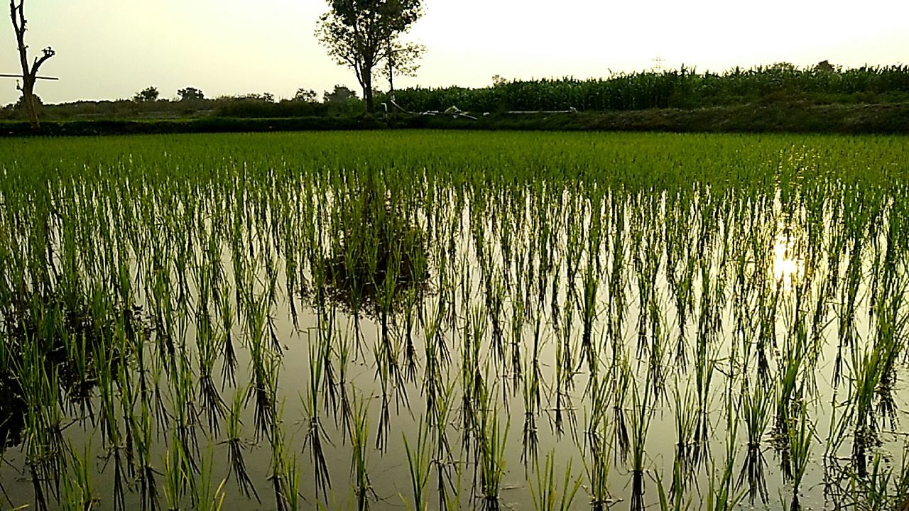 Paddy fields just sowed...at my farm..... Farm Rural Scene Agriculture Tree Sky Reflection Scenics Tranquility Crop  Nature Rice Paddy Field Green Color Tranquil Scene Rice - Cereal Plant Beauty In Nature Something I Like My Farm Life IMography Malephotographerofthemonth Rural_love My Smartphone Life Makesmesmile EyeEm Incredible India With Love From India💚 truly...urs... Nitin