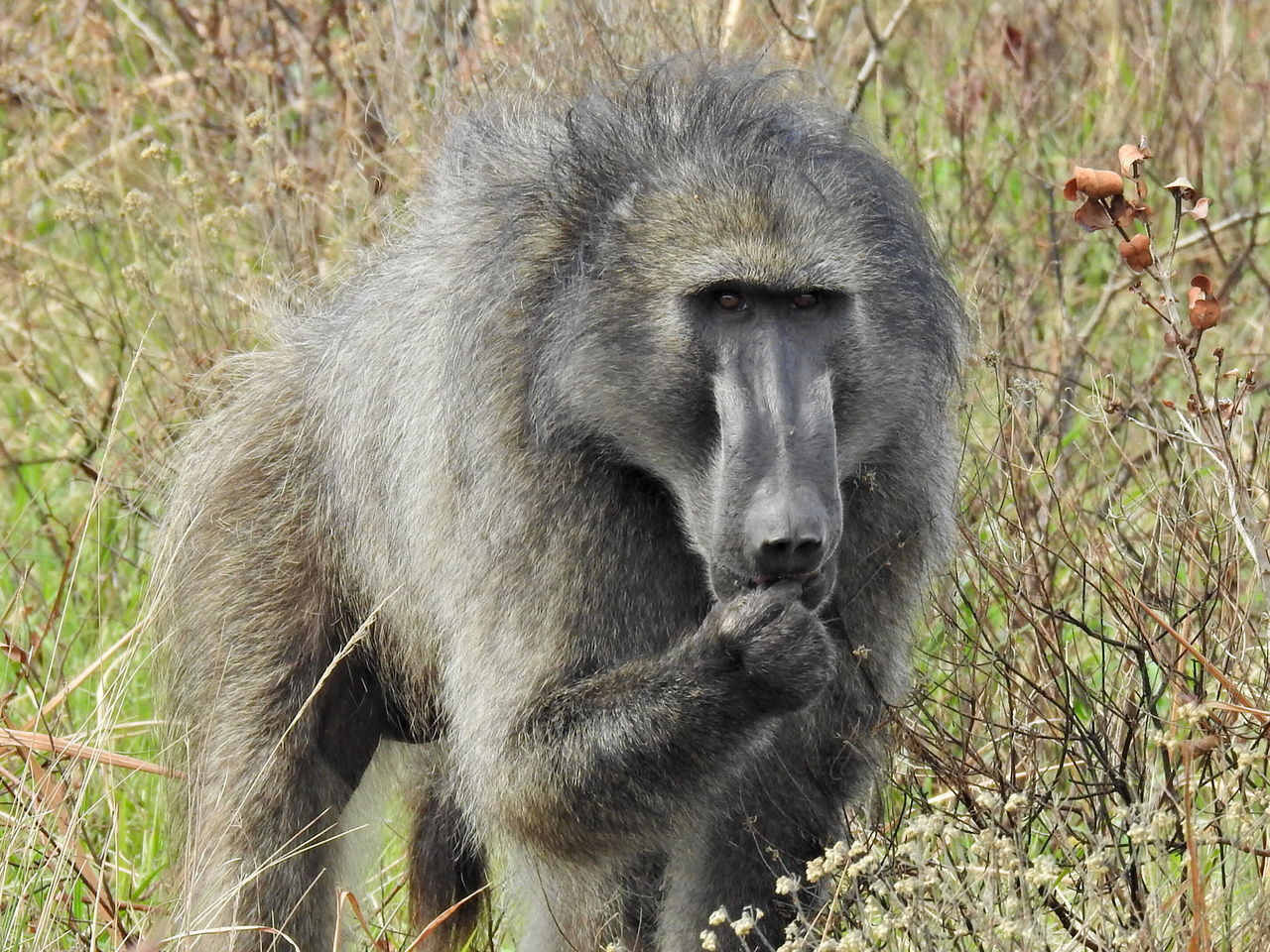 animals in the wild, one animal, mammal, animal wildlife, animal themes, baboon, monkey, day, outdoors, nature, no people, plant, grass, close-up