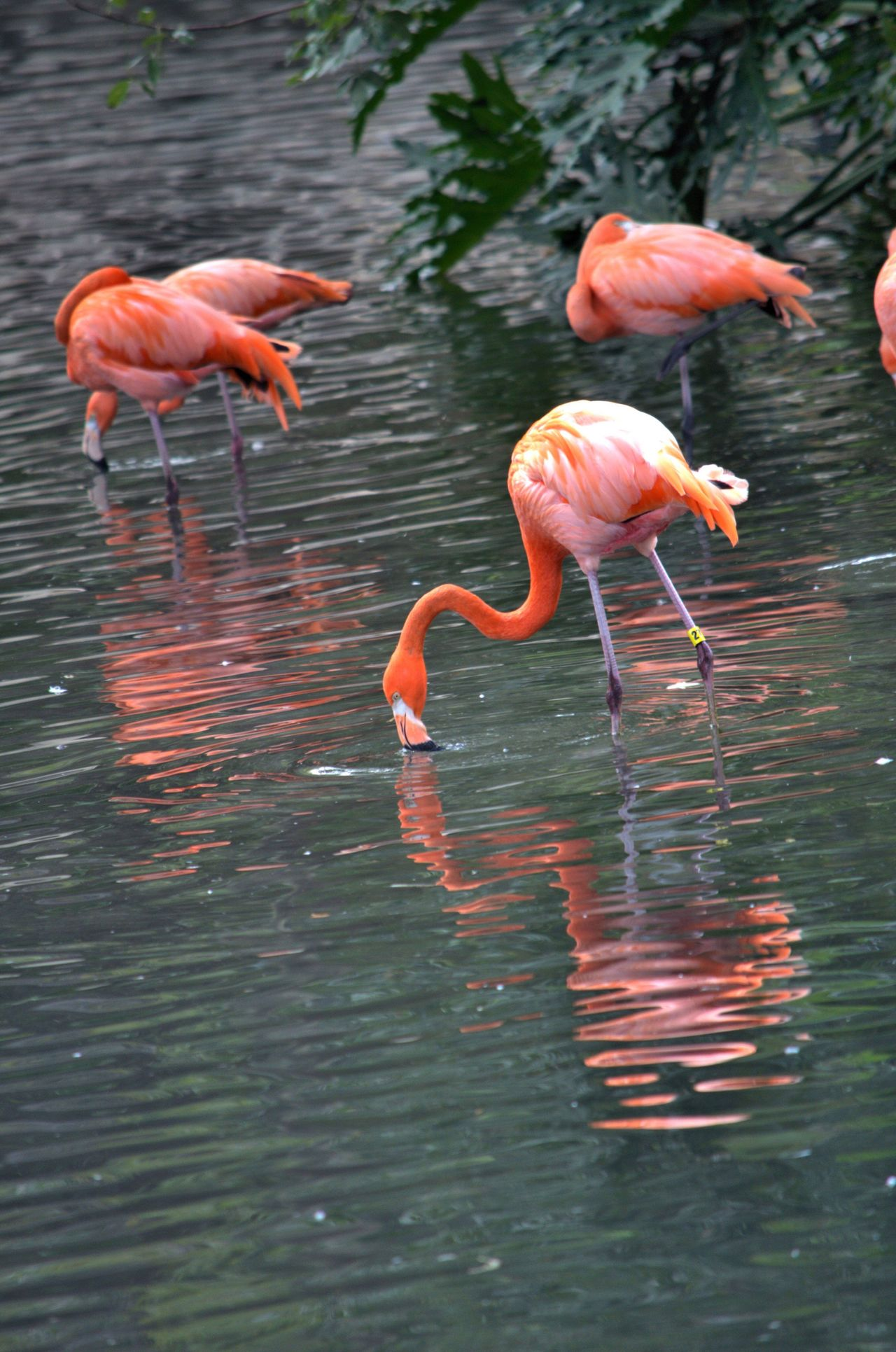 Flamingo Water Reflection Bird Nature Beauty In Nature San Antonio Zoo San Antonio, Texas Flamingos Animal Light And Reflection