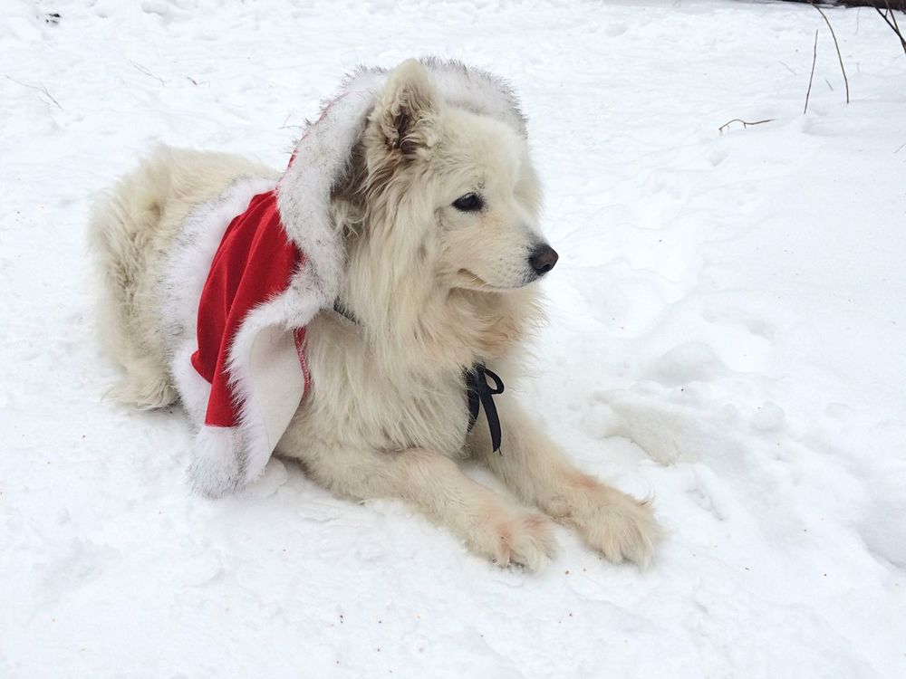 My little Santa! Happy New Year Dog Samoyed My Dog My Dogs Are Cooler Than Your Kids I Love My Dog Cane самоед самоедская собака Winter