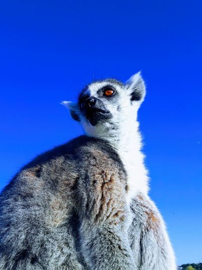 Blue Close-up Animal Themes Portrait No People Looking At Camera Day Owl Sky Outdoors Nature Lemur