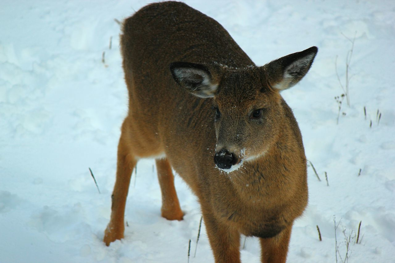 Beautiful stock photos of deer, snow, one animal, winter, cold temperature