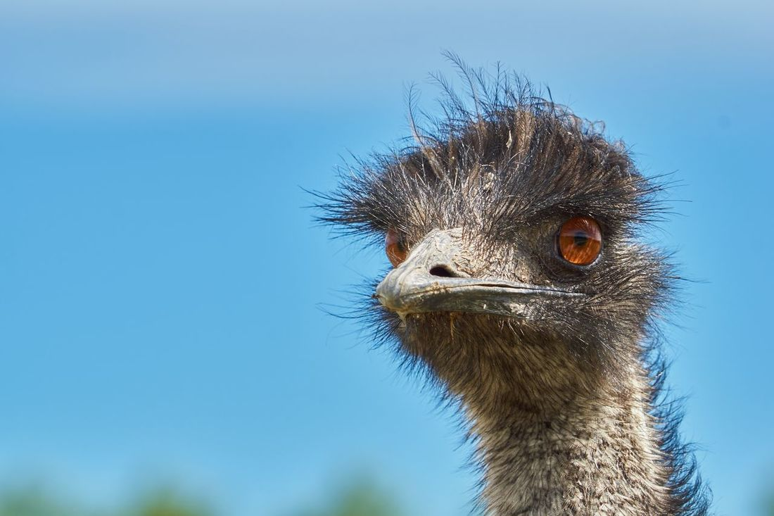Face Emu Emu Emu Bird Not Flying Animal Poultry Nature Close-up Day Nopeople