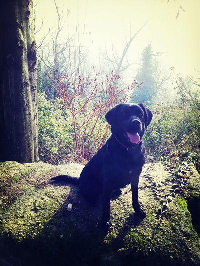 Mypet Super Dog ^.^ Black Labrador Belfess