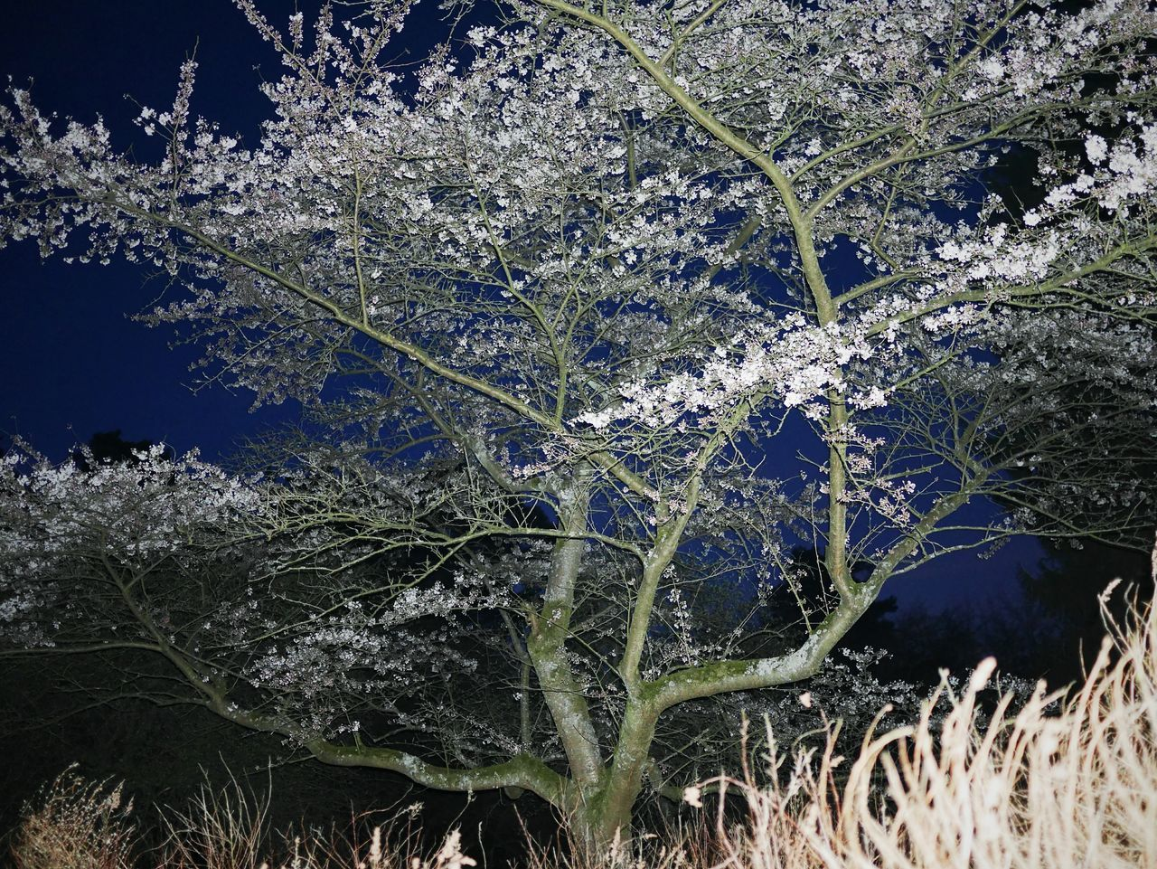 Bokrijk Arboretum Beauty In Nature Nature No People Tree Outdoors Blossom Nightphotography Spring Flash