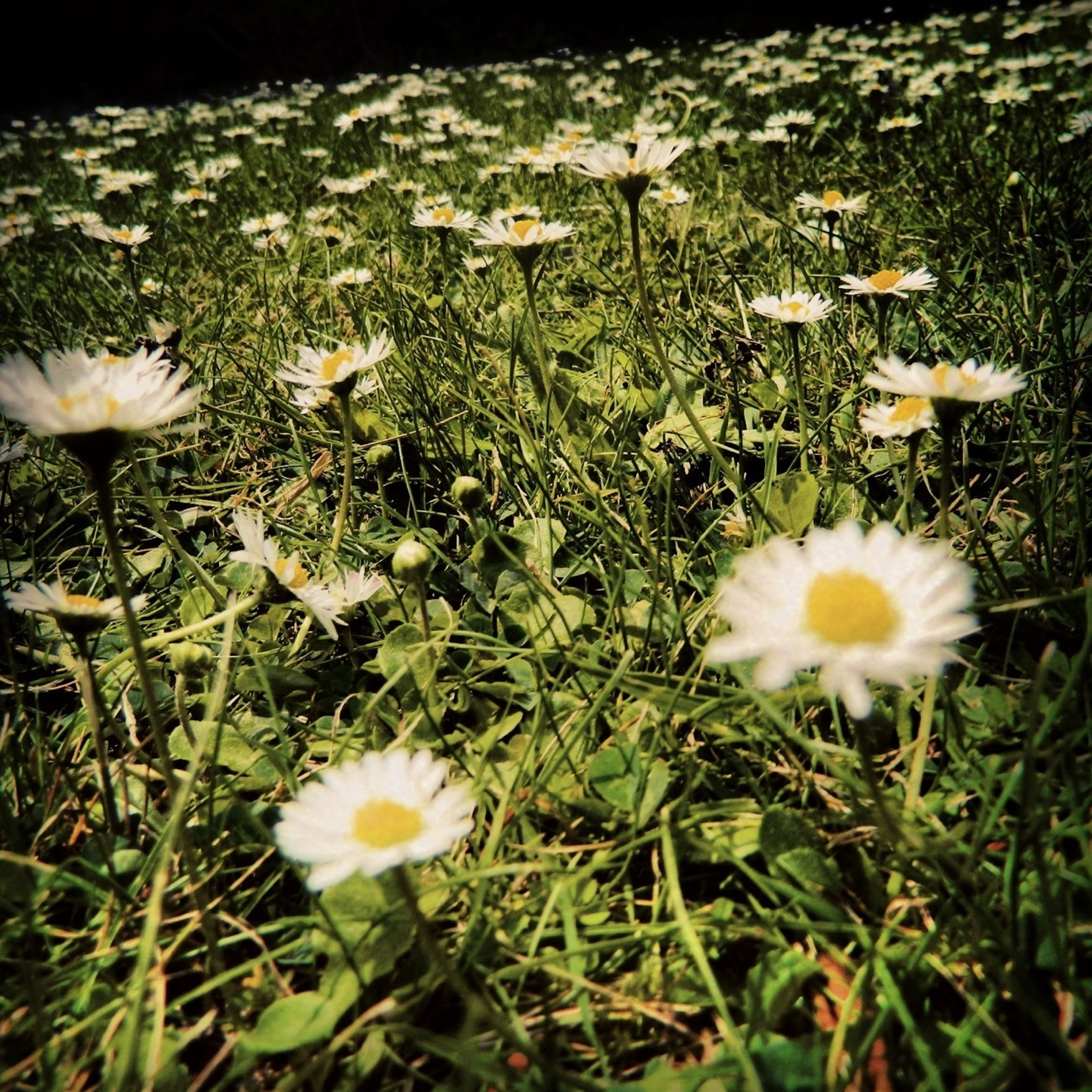flower, freshness, growth, fragility, petal, field, white color, beauty in nature, grass, daisy, plant, blooming, nature, flower head, green color, high angle view, wildflower, meadow, in bloom, stem
