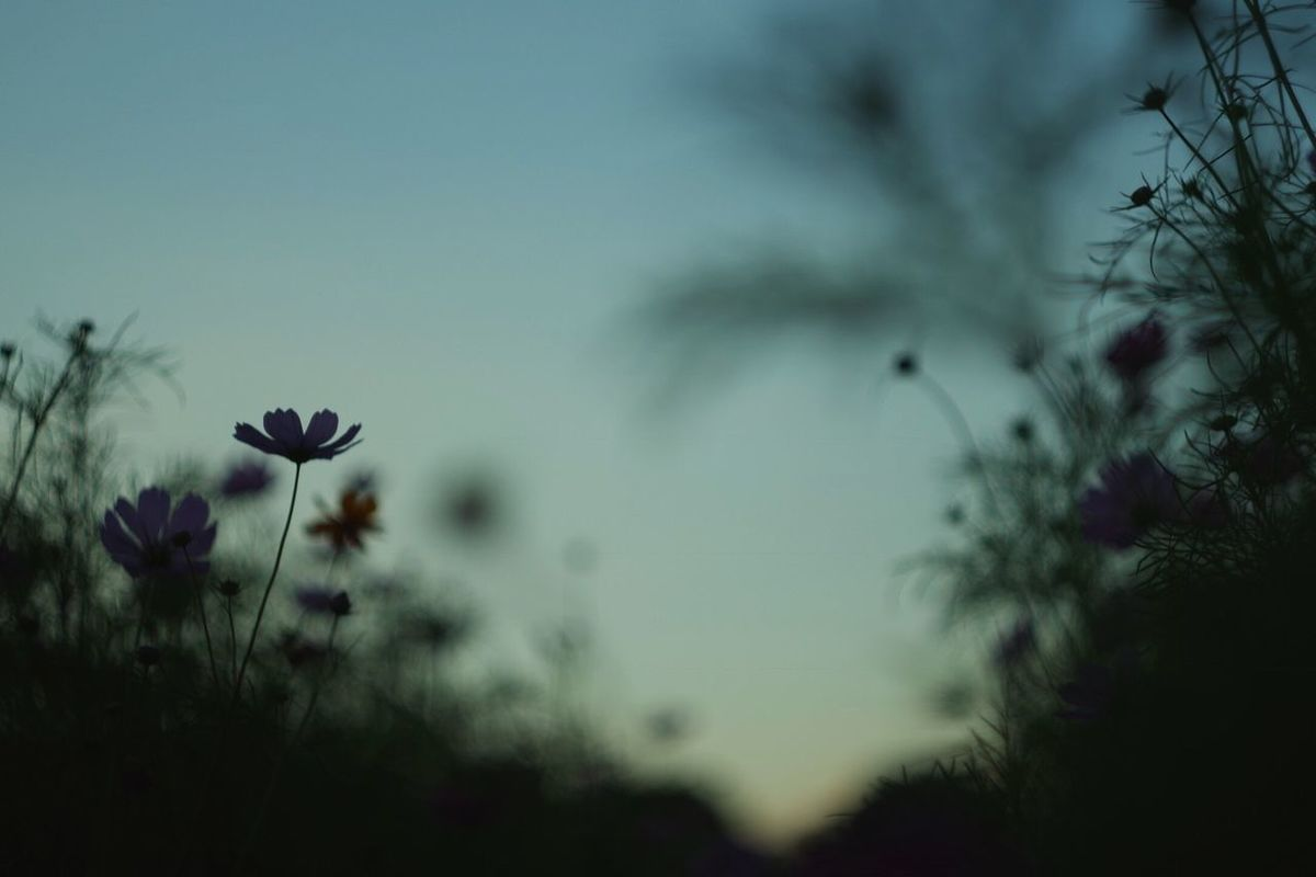 Cosmos Flower Flower Plant Nature Fragility Beauty In Nature Freshness Outdoors No People Petal Flower Head Day Sky EyeEm Nature Lover Evening Oldlens Pentax