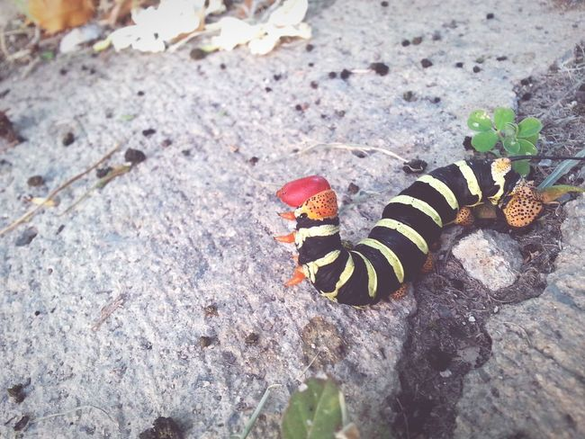 Caterpillar Relaxing Taking Photos Hi! Check This Out Enjoying Life Hanging Out Hello World Cheese! Hanging Out Taking Photos Hello World Beautiful ♥ Beautiful Nature Vnmaphotography Nature Lover Enjoying Life Hi! EyeEm Nature Lover Loverofphotography Black Yellow Red
